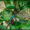 This dragon fly rested on the Rose of Sharon for a good hour. He was very happy there.