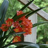 Clivia--also called winter lily.