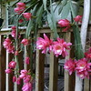 What a gorgeous plant!  It's called an Orchid Cactus (Epiphyllum)