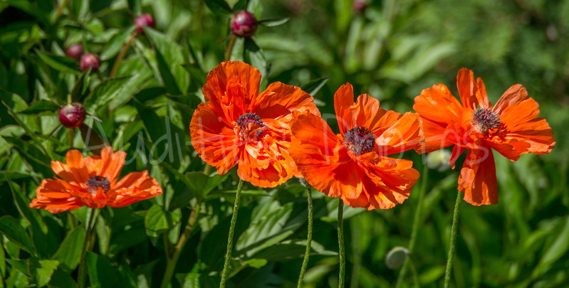 Delightful dancing poppies.