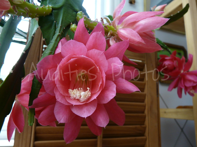 Epiphyllum = (epi) upon  and (phylos) leaf<br /> In fact, what the flowers grow on are the flattened stems.<br /> Also called Orchid cactus.