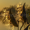 Milkweed pods let loose their silken threads in the setting sun.