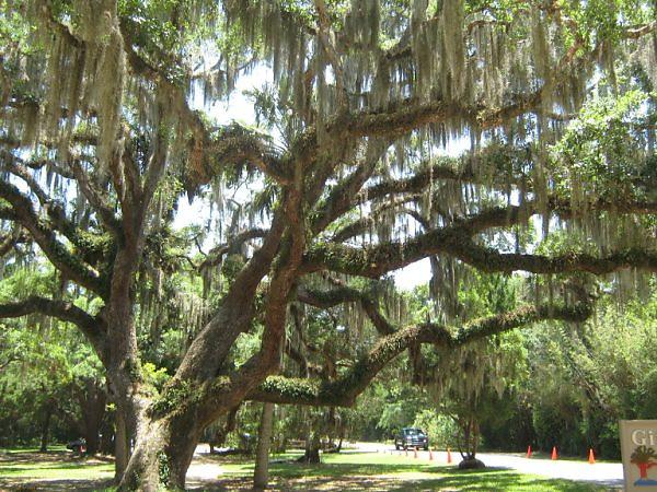 gift shop trees <br /> Washington Oaks Picnic <br /> May 22 2010