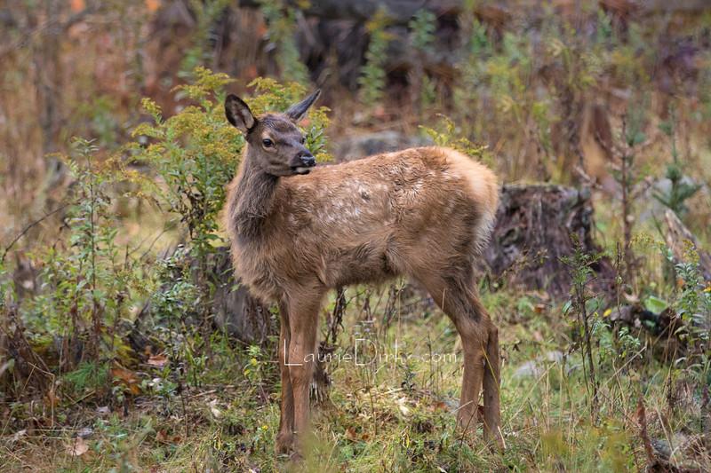 Rocky Mountain Elk Calf