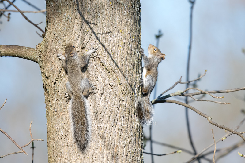 Grey Squirrel Kit