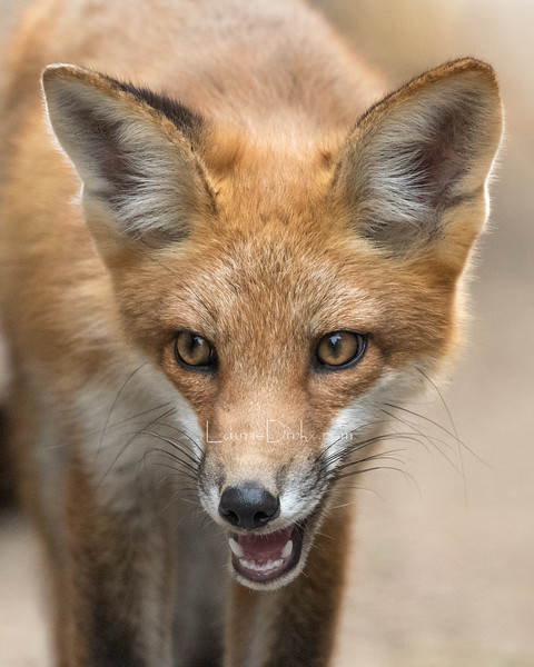 Red Fox kit, 3 months old.
