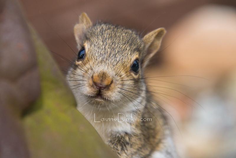 Grey Squirrel Kit
