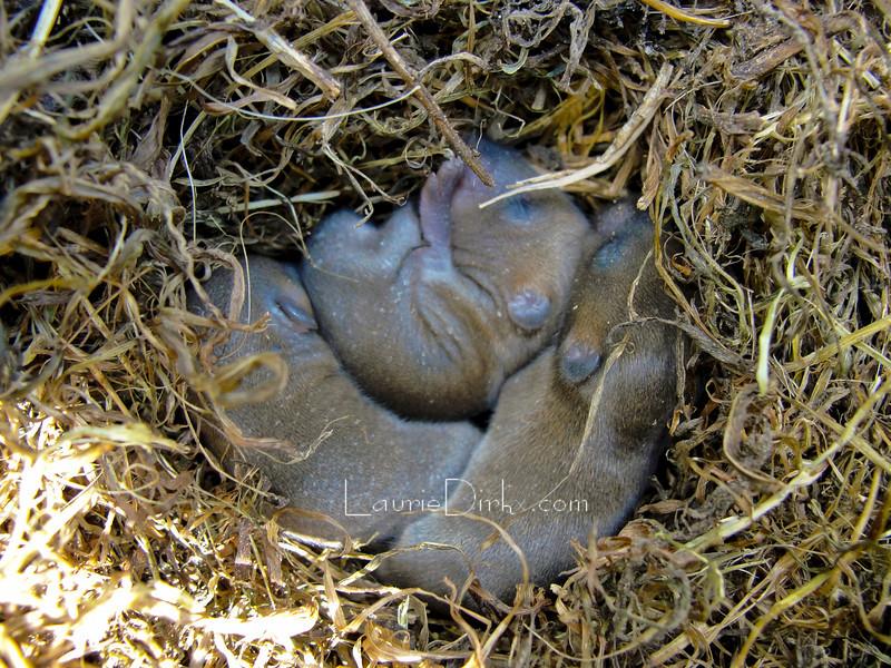 Field Mice Pups