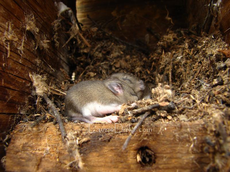 Field Mice pups in Bluebird house.