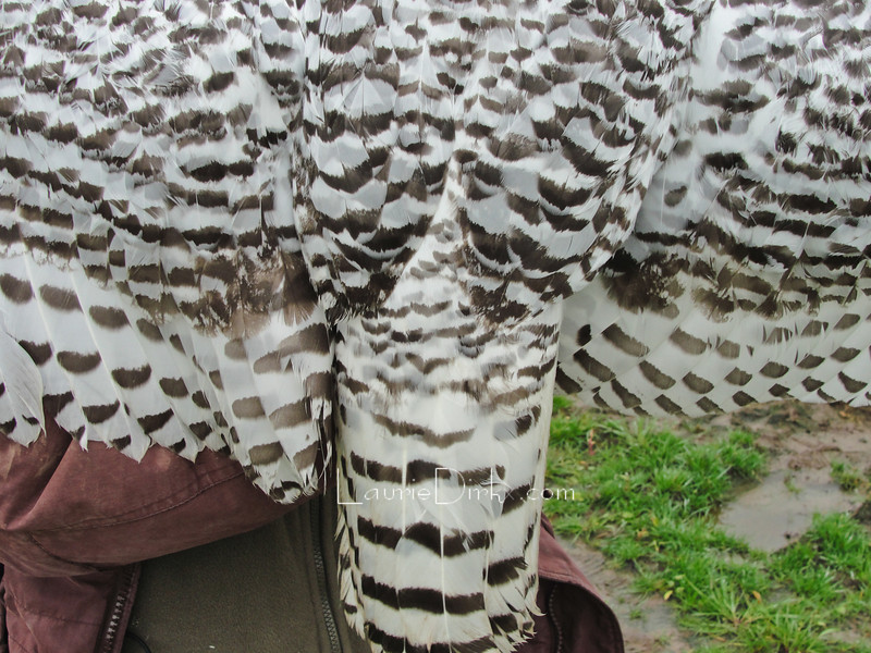 Tail feathers are also great indications to the maturity of individuals.