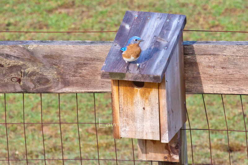 """Dad's Presence<br /> This male EABL (eastern bluebird) was banded last year by my father when he was a hatchling, he is now termed a """"first year"""" and has claimed a nest box on my mare's fence. Dad passed in October, four months after banding this one. What a treasure for me to see Dad's craft still alive and well in my own backyard. How very meaningful for me."""