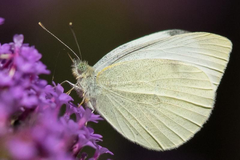 Cabbage White on Verbena