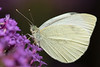 Cabbage White on Verbena