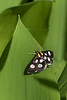 Anania funebris – White-spotted Sable Moth