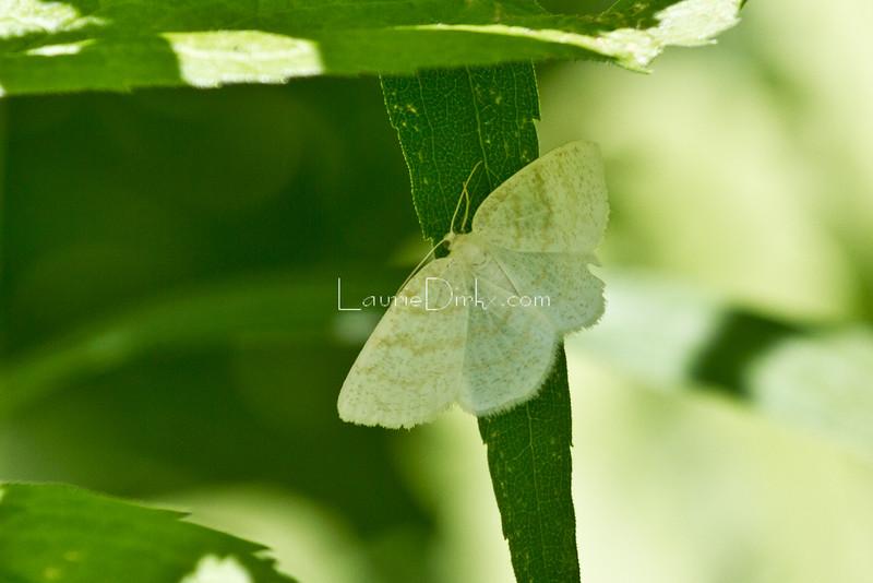 Yellow-dusted Cream Moth