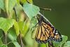 Monarch on Betula pendula (Silver Birch)