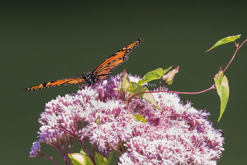 Monarch, on Joe Pye Weed