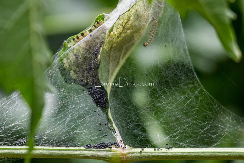 Fall Webworm Moth caterpillars