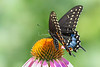 Black Swallowtail (female)