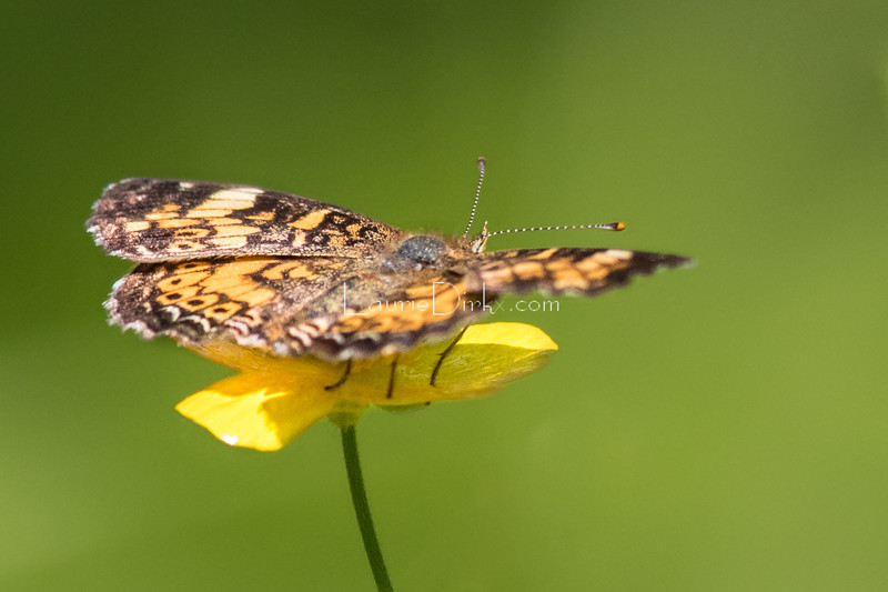 Crescent, possibly Pearl Crescent