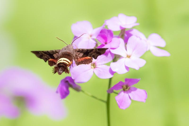 Nessus Sphinx Moth (Amphion floridensis)