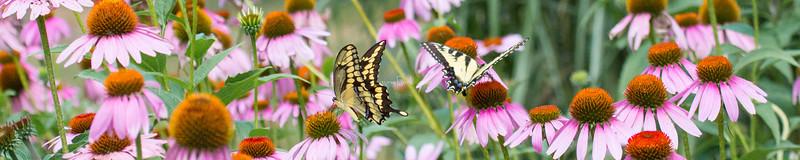 Giant Swallowtail, Eastern Tiger Swallowtail
