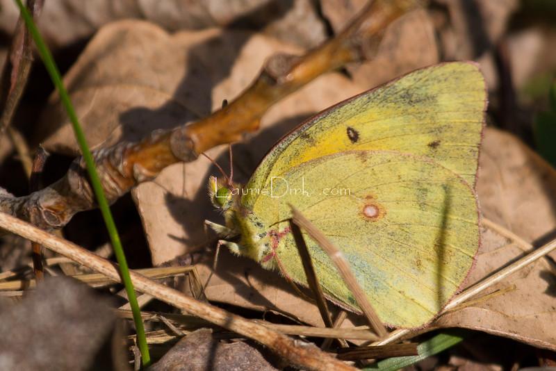 A Sulphur species.