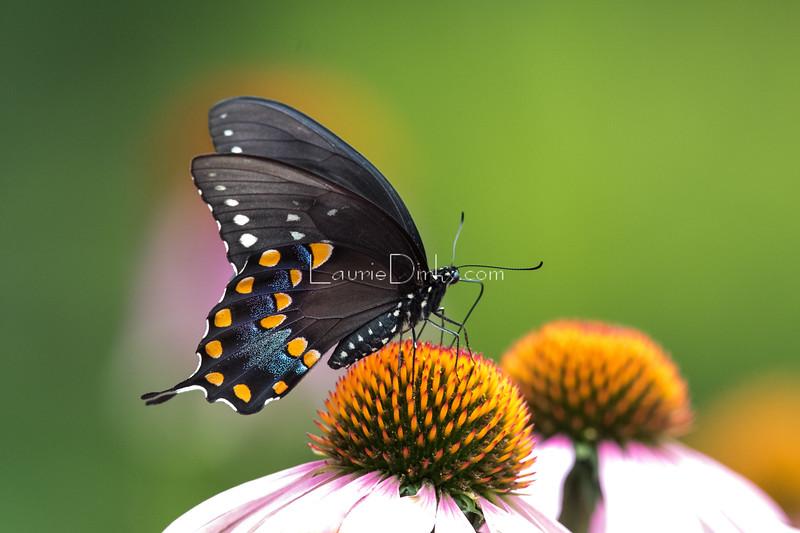 Spicebush Butterfly