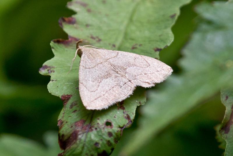 Grayish Zanclognatha Moth, or Grayish Fan-foot Moth