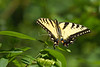 Tiger Swallowtail, possiby eastern