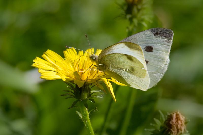 Cabbage White, female