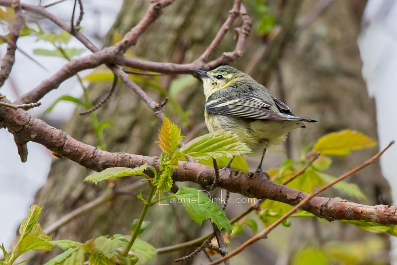 Cerulean Warbler, female