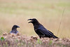 Raven, Adirondacks