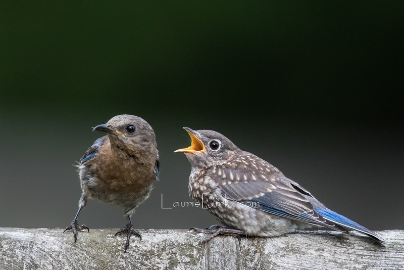 Slate-colored female, with crossbill, on the left, raising successful clutches.