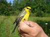 Blue-winged Warbler in the care of Chita McKinney - Braddock Bay Bird Observatory.
