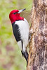 Red-headed Woodpecker  ~ Melanerpes erythrocephalus