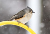 Beak Deformity on this Tufted Titmouse