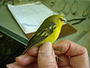 Robert McKinney, photo following this Blue-winged Warbler being banded. Braddock Bay Bird Observatory