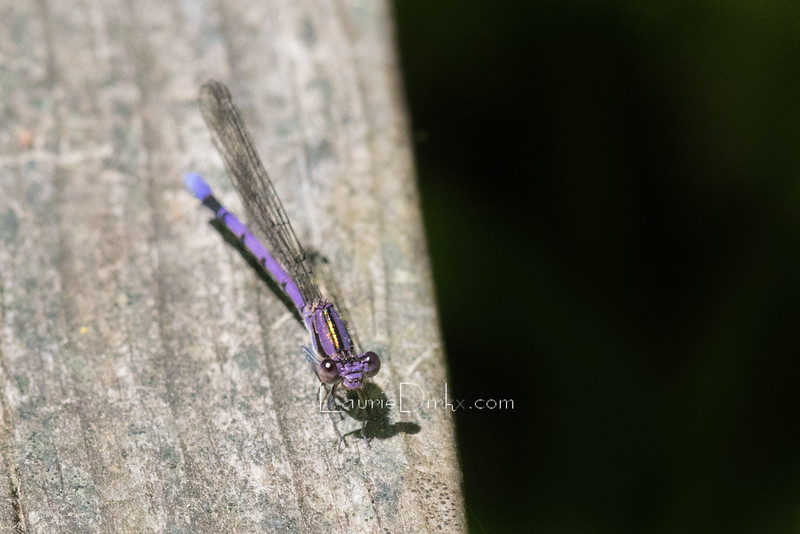 Argia fumipennis - Variable Dancer