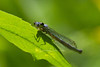 damselfly species in the Forktail family (female)