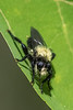 Bee-like Robber Fly - Laphria divisor, I believe.
