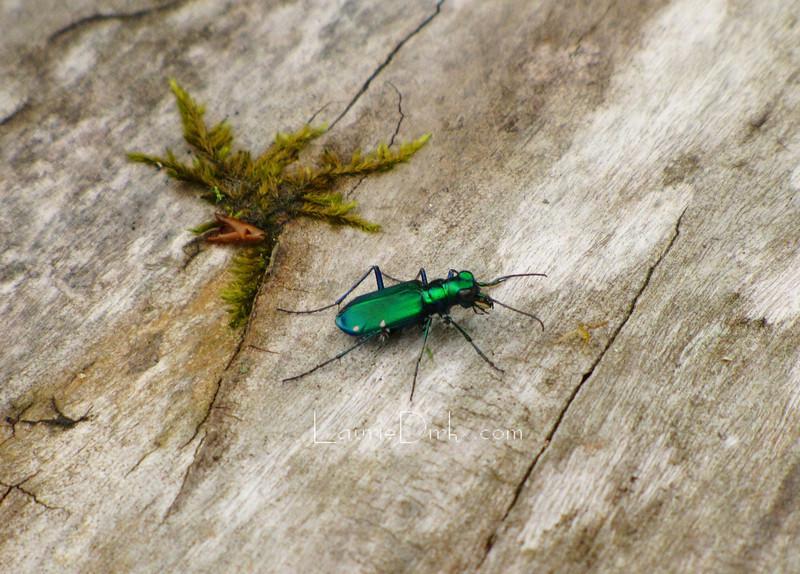 Cicindela Sexguttata aka Six Spotted Tiger Beetle
