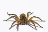 Tigrosa sp. wolf spider