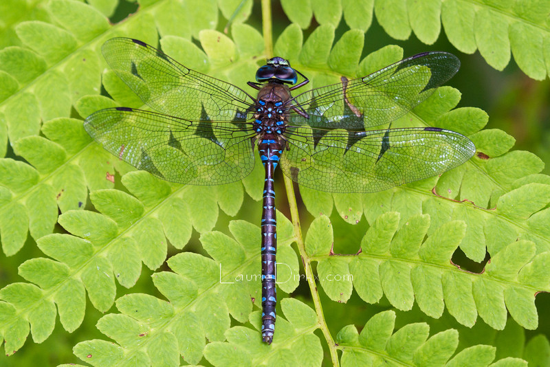 species in the Darner family (female)