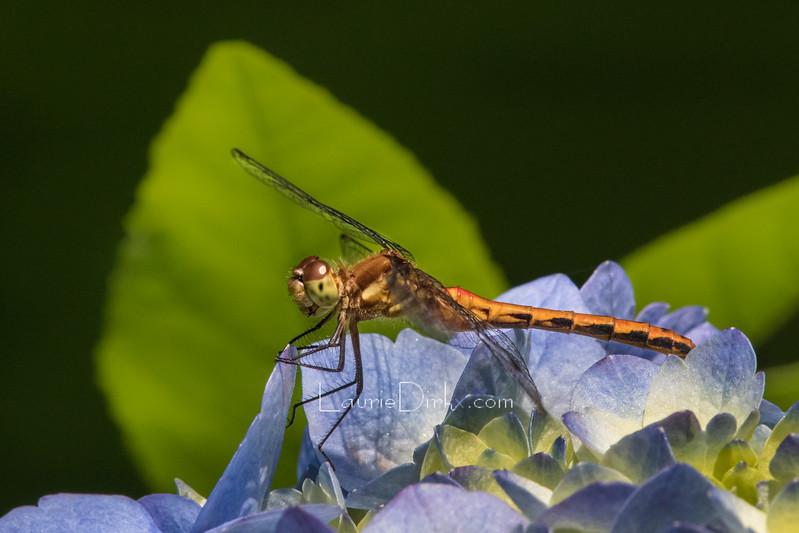 Meadowhawk, female