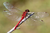 A species in the Meadowhawk family (male)