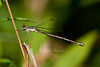 damselfly species in the Spreadwing family (female)