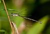 damselfly species in the Spreadwing family (female)
