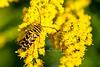 Species Megacyllene robiniae - Locust Borer