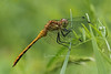 Meadowhawk -  one of the White-faced/Ruby/Cherry-faced group that cannot be ID'ed from photos.